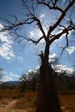 Baobab sylwetka Baobab dolina, Wielka Ruaha rzeka Tanzania Zdjęcia Royalty Free