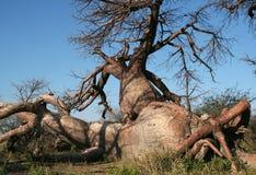 Baobab tordu Photographie stock libre de droits