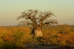 Baobab Tree. In the early morning light. The shot was taken in Kruger Park, South Africa Stock Photography