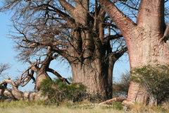 Baobab tree Stock Image