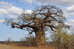 Baobab Tree Stock Photo