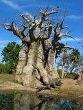 Baobab Tree stock photography