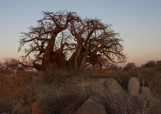 Baobab Tree. In early morning light. Kubu Island, Botswana royalty free stock photos