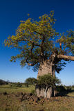 Baobab tree. A massive baobab tree in Africa photographed in summer with leaves and a blue sky Stock Photography