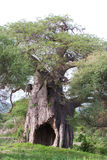 Baobab tree. An old, massive baobab tree with a large hole in its trunk royalty free stock photography