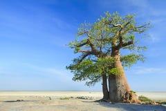 Baobab Tree. A Baobab trees on Khubu Island, Botswana Royalty Free Stock Image