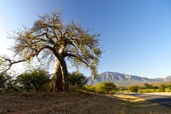 Baobab tree. In Mpumalanga in South Africa royalty free stock images