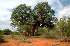 Baobab Tree. Giant Baobab tree Stock Photo