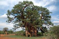 Baobab tree. Giant baobab tree stock image