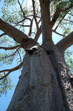 Baobab tree. With sun Stock Photos