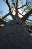 Baobab tree. With sun stock images