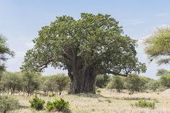 Free Baobab Tree Royalty Free Stock Photography - 86524787
