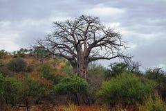 Baobab Tree (Adansonia digitata) Stock Photography