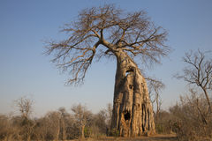 Baobab tree Royalty Free Stock Images