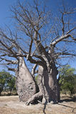 Baobab Tree (Adansonia digitata) - Namibia Stock Photos