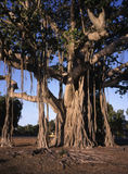 Baobab tree, Adansonia digitata, Stock Photography
