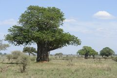 Baobab tree in Africa Stock Image