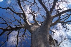 Baobab Tree Africa. Blue cloudy sky detailed view in Kenya stock images