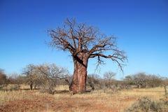Baobab Tree Stock Photos