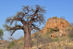 Baobab tree in african landscape Stock Photo