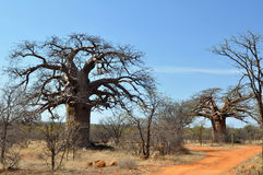 Baobab tree in African landscape Royalty Free Stock Photo