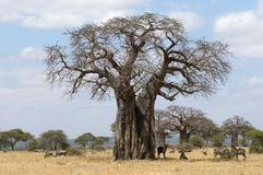 Baobab Tree. An African Baobab tree providing shades for the savanna mammals stock images