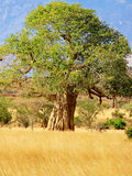 Baobab tree on african savannah. In Kenya Stock Photo