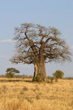 Baobab Tree. An African Baobab tree in the vast African plains Stock Images