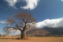 Baobab tree against cloudscape Royalty Free Stock Photo