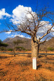 Baobab tree along the an african road Royalty Free Stock Image