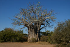 Baobab tree. Big baobab tree in the Kruger National Park in South Africa Royalty Free Stock Photography
