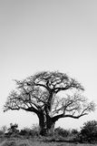 Baobab tree blasck and white Stock Photography