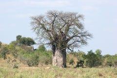 Baobab tree Stock Images