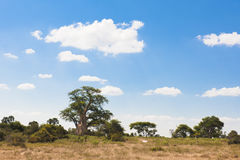 Baobab Tree Stock Images