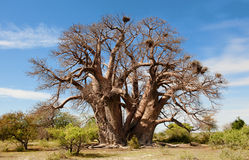 Baobab Tree. This baobab tree in botswana, africa, is very old and big and could tell a lot of stories. At the time I took this photo it had no leaves stock image
