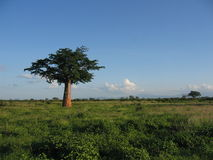 Baobab tree in bush. Scenic view of Baobab or Adansonia tree in Tsavo National Park, Kenya Royalty Free Stock Photos