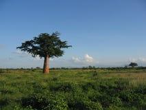 Baobab tree in bush Royalty Free Stock Photos