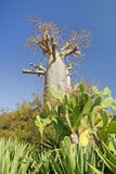 Baobab tree and cactus Stock Photo