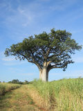 Baobab tree in  cane  field. Stock Image