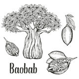 Baobab tree, fruit, leaf, nut engraving vintage set. Hand drawn sketch vector illustration. Black on white background. Stock Photo