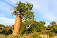 Baobab tree with fruit and leaves in an African landscape Royalty Free Stock Images