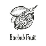 Baobab tree, fruit, nut engraving vintage Hand drawn sketch vector illustration. Black on white background. Royalty Free Stock Photo