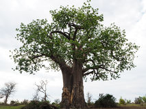 Baobab tree in full height with white cloud background Royalty Free Stock Image