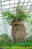 Baobab tree at Gardens by the Bay Flower Dome Stock Photography