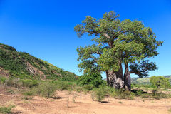Baobab tree with green leaves in an African landscape with clear Stock Photography
