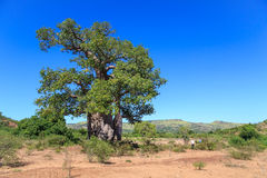 Baobab tree with green leaves in an African landscape with clear Stock Image