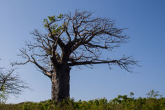 Baobab tree Stock Photos