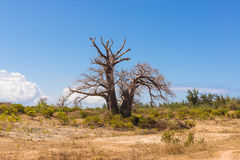Baobab tree growing surrounded by African Savannah Stock Photo