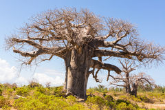 Baobab tree growing surrounded by African Savannah Stock Photography