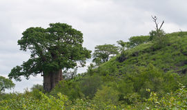 Baobab tree on a hill with an eagle nearby. A large iconic African baobab tree in unspoilt wilderness with an eagle perched nearby stock photos